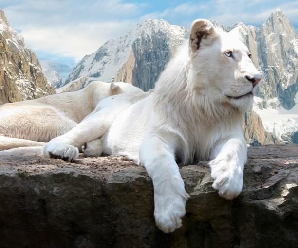 leone-bianco